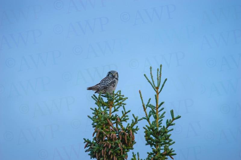 Denali Hawk Owl