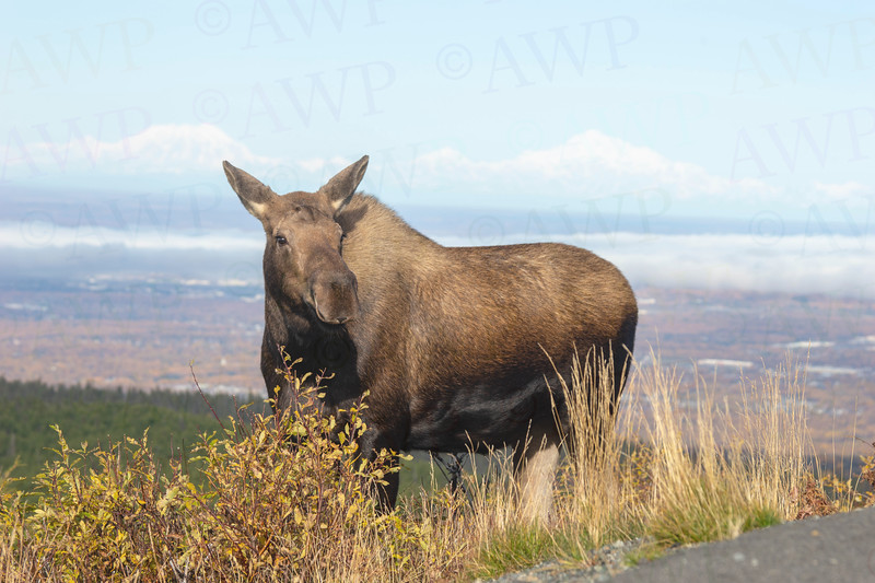 Glen Alps Moose