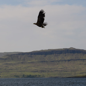 White-tailed Sea Eagle