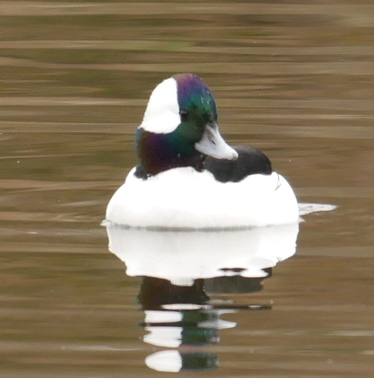 This male bufflehead was in the middle of the lake.  Too far away for a really good photo but I tried anyway.