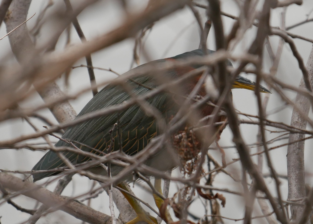 Green herons are much harder to photograph than some other herons and egrets.  This one was resting in a willow tree at the edge of the lake.  I used manual focus with focus peaking to get the bill in sharp focus.  In hindsight, I think I should have gotten the wing feathers in sharp focus instead.  Any day I see a green heron is a good day though.