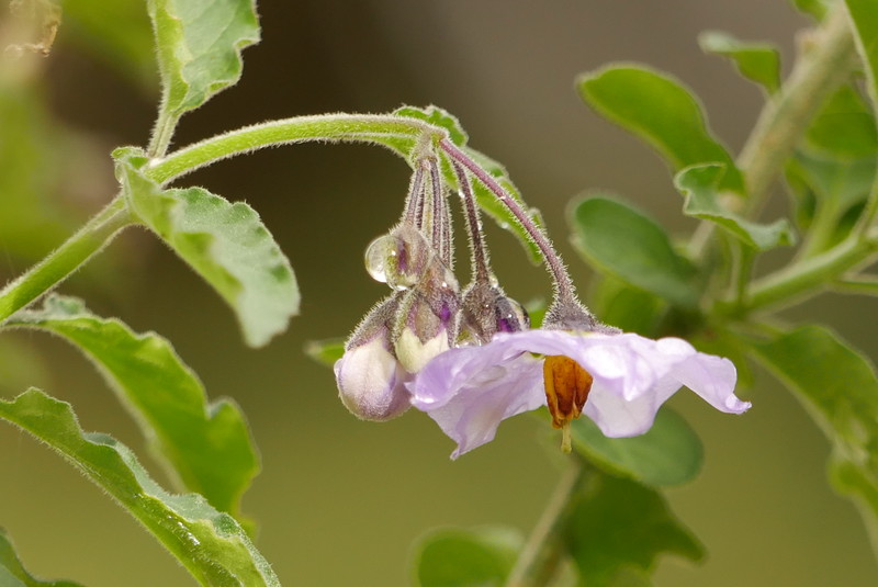 A single solanum flower was in bloom.  This is a macro lens sort of picture but the long zoom produced a pleasing result.