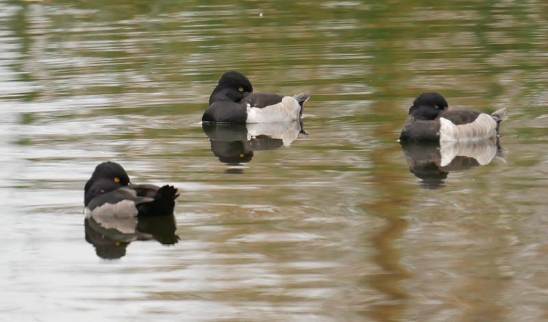 These ducks were so tucked in that it was hard to be sure what species they were.  Ring neck ducks rather than lesser scaups I think.  More light in the ducks would have been appreciated.