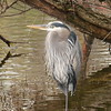 This great blue heron was standing quietly at the edge of the island in the lake.