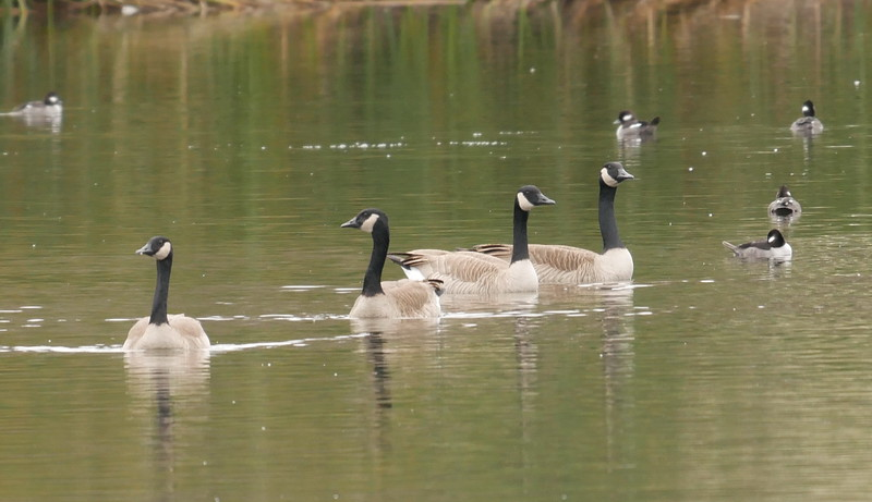 Canada geese are thick as hops in the park.  A thorough nuisance. Some buffleheads at the edges of the picture.   More light please.  And could the birds swim closer to me?