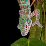 Cameleon multicolore - Multi Colored Chameleon