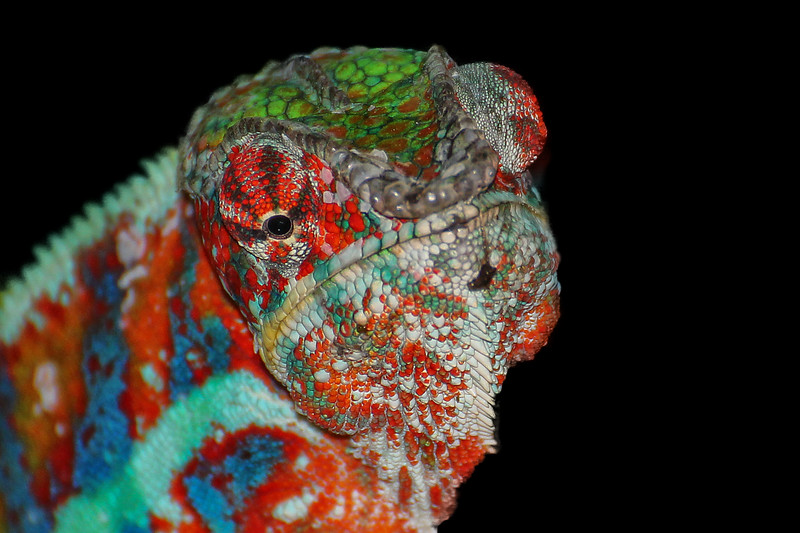 Cameleon multicolore - Multi Colored Chameleon