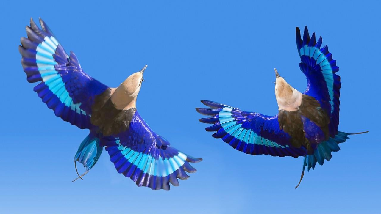 Rollier à Ventre Bleu    -   Blue-bellied roller