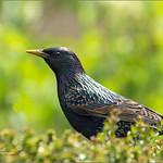 Etourneau  - Starling