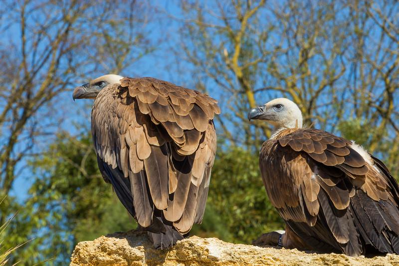 Vultures  -  Vautours
