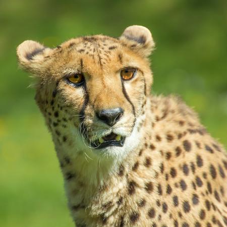 Cheetah  -  Guépard