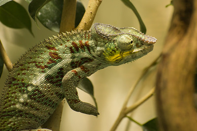Cameleon  -  Chameleon