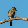 Grey Flycatcher