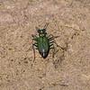 Tiger Beetle .....