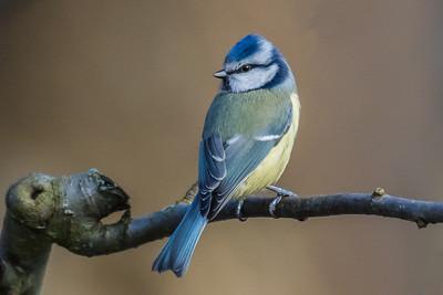 Blue Tit - Blåmejse