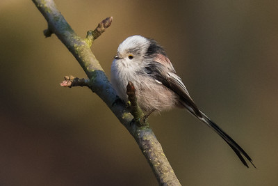 Long-tailed Tit - Halemejse