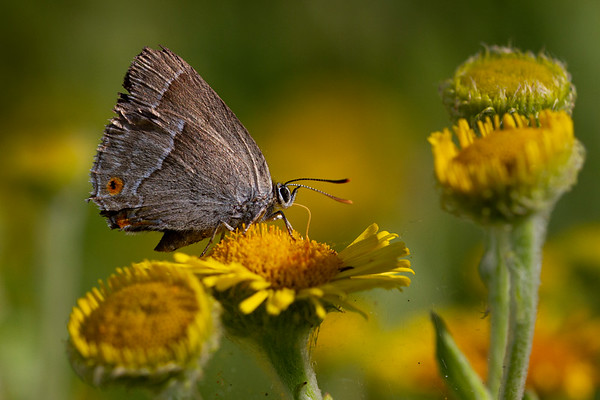 Blåhale, Purple Hairstreak, Knepp, England