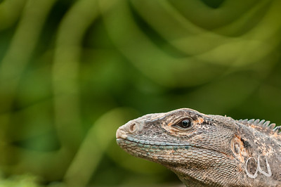 Gemeiner Schwarzleguan (Ctenosaura similis), Parque Nacional Carara, Carara-Nationalpark, Pazifikküste, Costa Rica