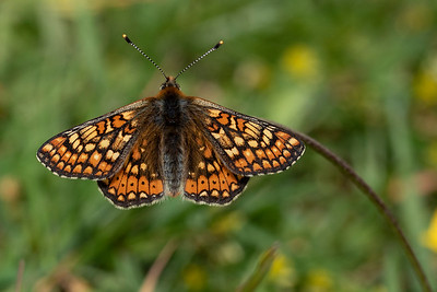 Hedepletvinge, Marsh Fritallary (Euphydryas aurinia), Lundby Hede