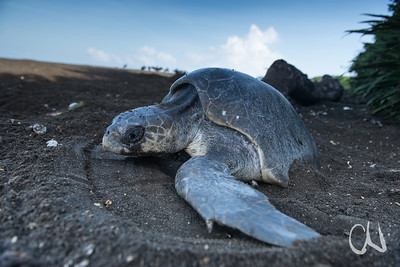 Olive ridley sea turtle