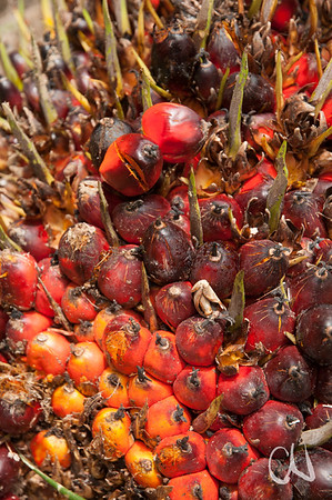 fruits of African Oil Palm