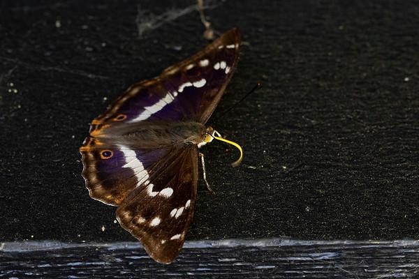 Iris, Purple Emperor, Skivum Nørrekrat, Himmerland, Denmark