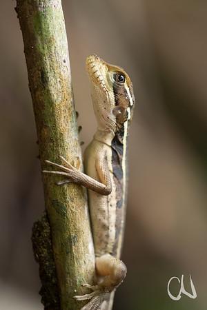 junge Echse, Tortuguero, Costa Rica