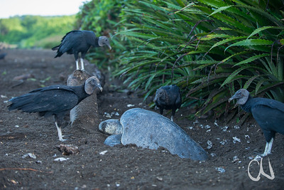 Black Vultures and Olive ridley sea turtle
