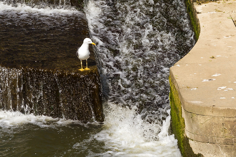 18th Apr 2015:  This seens to be a favourite resting place for Gulls on the wier at Pulney Bridge in Bath