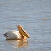 Great White Pelican, Rosapelikan, Pelecanus rufescens