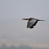 Long-tailed Cormorant, Riedscharbe, Phalacrocorax africanus