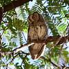 African Scops Owl, Afrika Zwergohreule, Otus senegalensis
