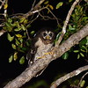 African Wood Owl,  Afrikanischer Waldkauz, Strix woodfordii