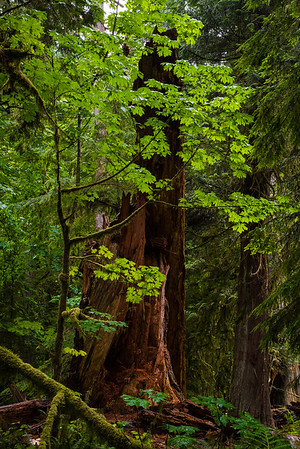 Alone in Cathedral Grove