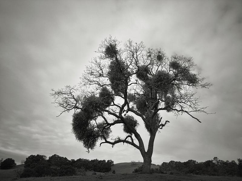 Tree with Mistletoe along Ed Wilson Trail