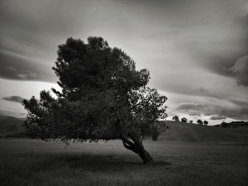 Leaning Tree at Santa Teresa