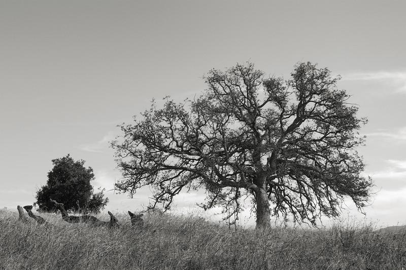 Oak on a November Afternoon