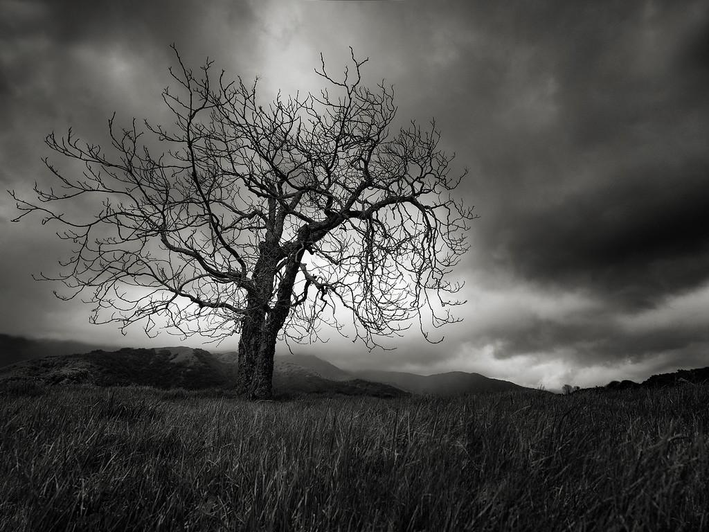 An Oak Tree near Spanish Camp