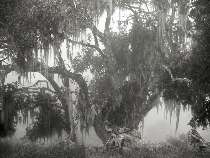 Spanish Moss on a Tree in the Fog