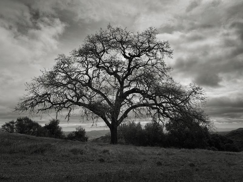 A Tree along Bald Peak Trail