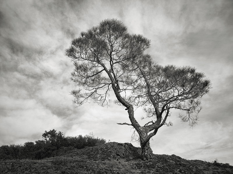A Tree at Mt. Umunhum