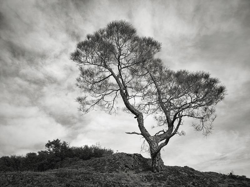A Tree at Mt. Umunhum