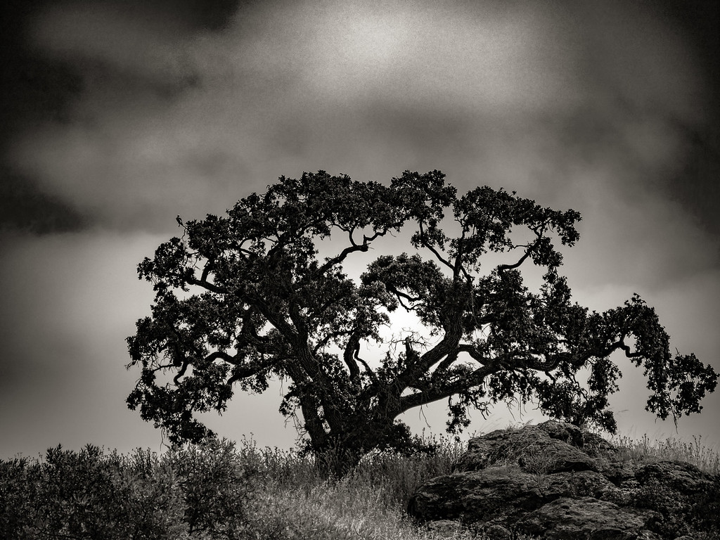 Calero Trailhead Tree