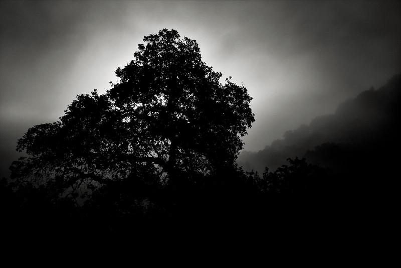 Tree in Morning Fog at Almaden Quicksilver