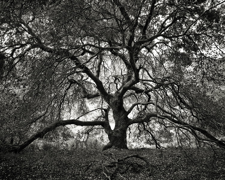 Oak Tree of Life