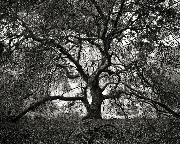 Oak Tree of Life