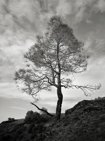 Another Tree at Mt. Umunhum