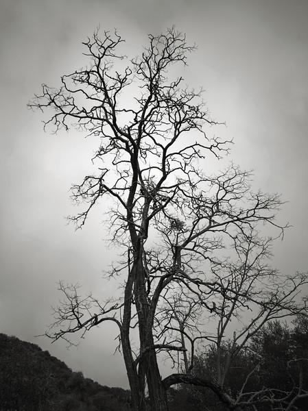 Almaden Tree - March 2021