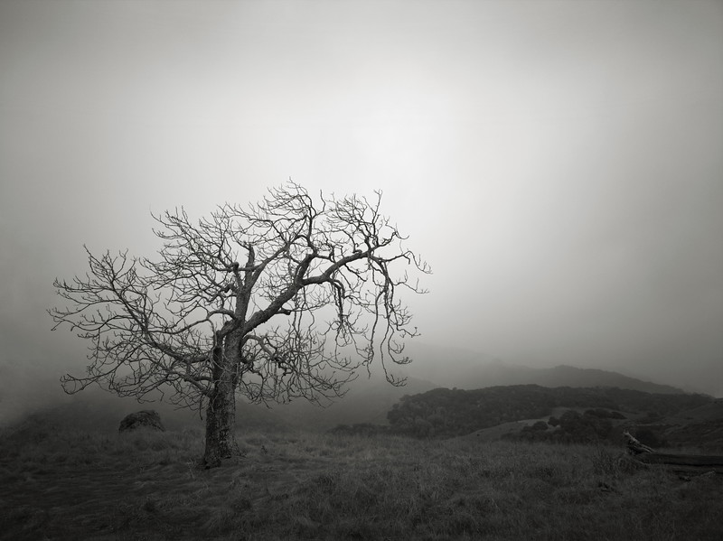 Oak in the Fog near Spanish Town