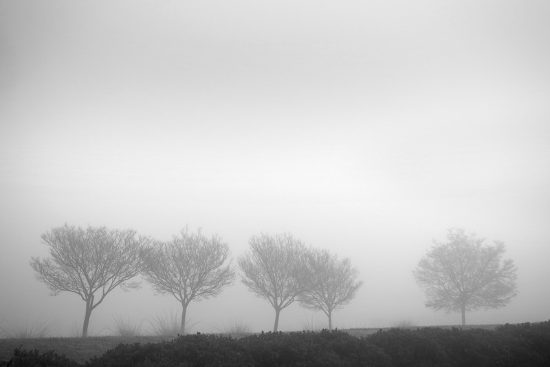 Five Trees in the Fog